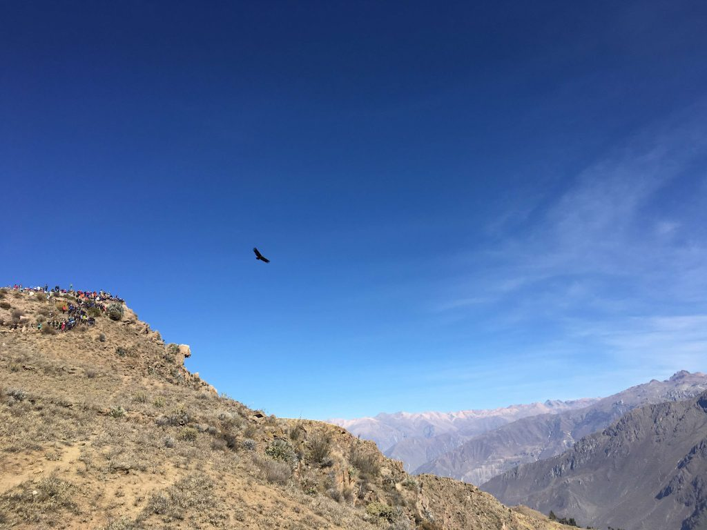 rondreis peru - colca canyon - condor
